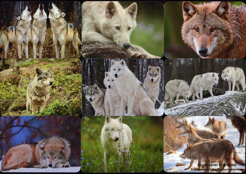 Серия календарей «Волки» 12 штук 2015 год