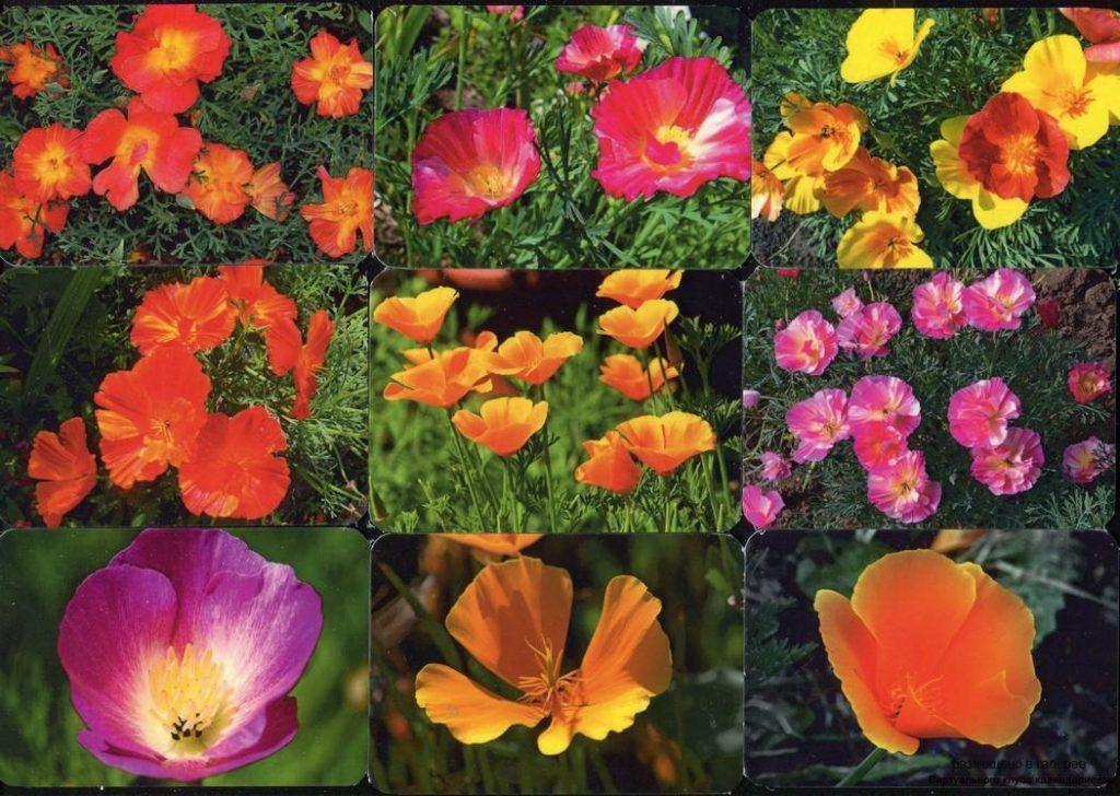 Серия календарей «Цветы эшшольция» 20 штук 2019 год