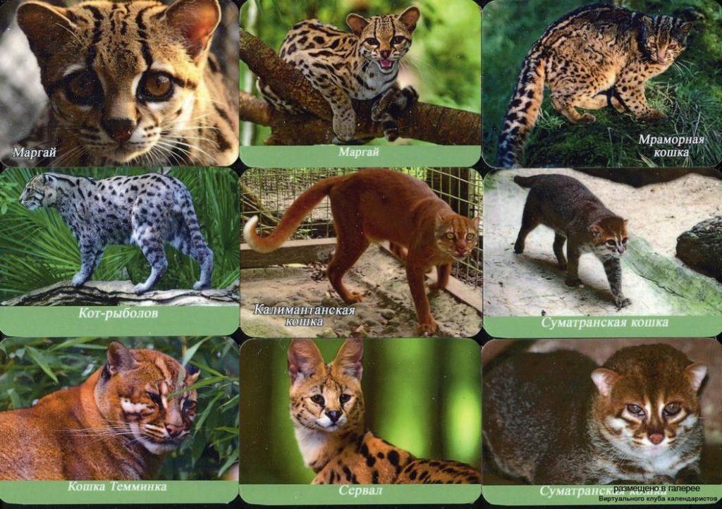 Серия календарей «Малоизвестные дикие кошки» 22 штуки 2019 год