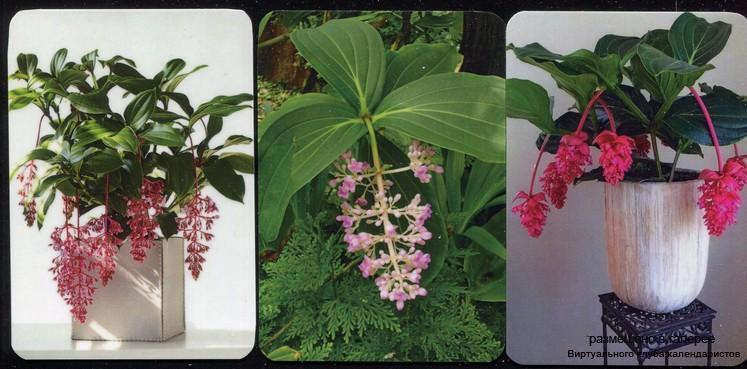 Серия календарей «Тропическая красавица Мелинилла» 20 штук 2020 год