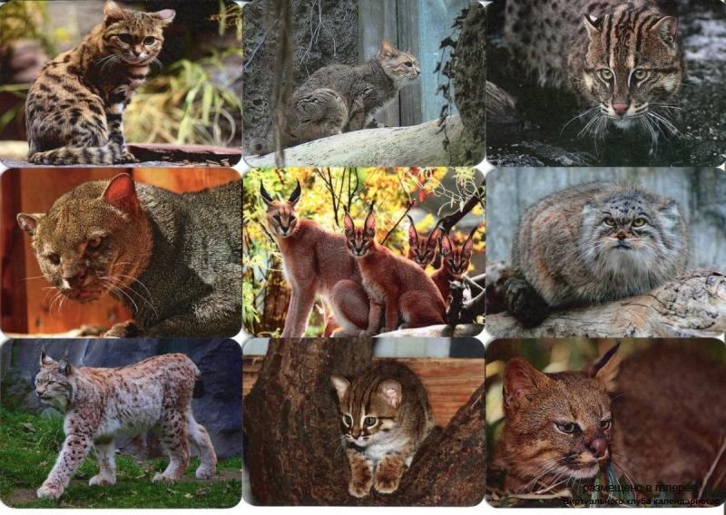Серия календарей «Малые кошки» 18 штук 2013 год
