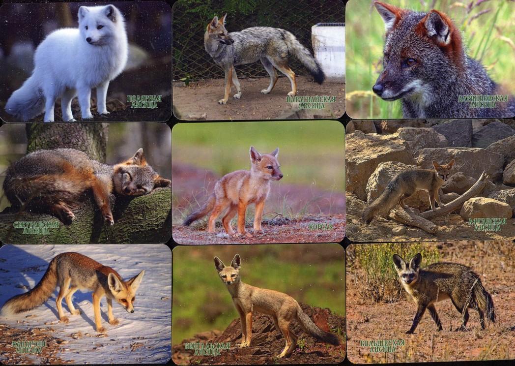 Серия календарей «Виды лисиц» 22 штуки 2020 год