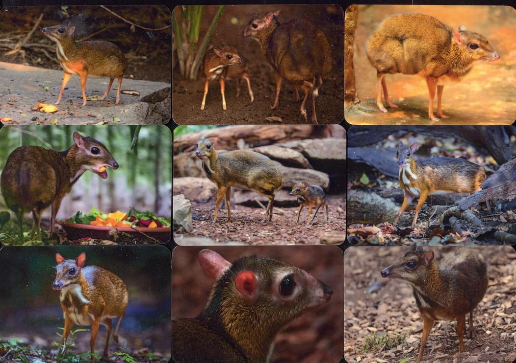 Серия календарей «Яванский канчиль - малый оленек» 20 штук 2020 год